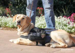 Service Dog - Do Not Pet