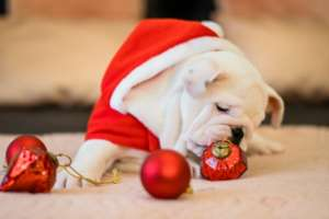 Bull Dog and Ornaments