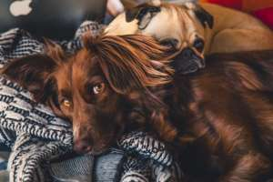 Snuggling Dogs