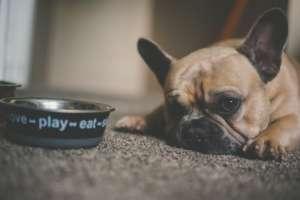 Dog Staring at Food Bowl