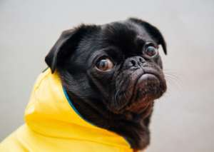 Dog in a Summer Jacket