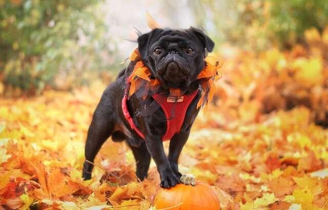 Health Benefits Of Pumpkin For Pets