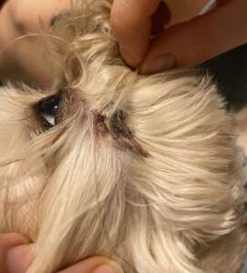 Maxwell's Tooth Abscess
