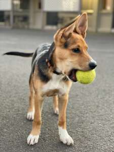 Dog with Ball in Street