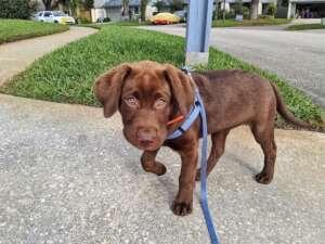 Dutch Puppy