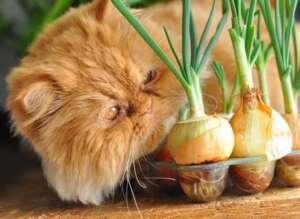 Cat Onion
